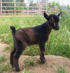 Tiny Colors Farm | Nigerian Dwarf Goats - Located in Ramona, California, in beautiful North San Diego County. Dairy, Companion, Brush-Clearing and Show Winners!