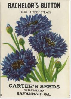 vintage seed packet - bachelor's buttons