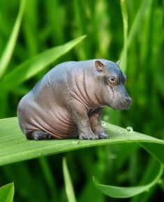 Is this Hippopotamus photoshopped onto the leaf? Or is it a toy? Or what?