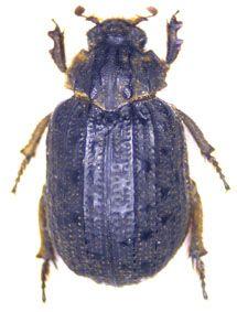 Omorgus (Omorgus) stellatus (Harold 1872)