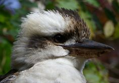 Kookaburra in Mount Tamborine, Queensland, Australia | Luckily, the Gold Coast has a calm, refreshing twin to its party-town hedonism: the Gold Coast Hinterland.