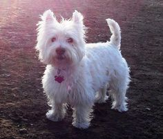 Those pups were selected and bred to acquire the West Highland White Terrier, which can be just a white Cairn.