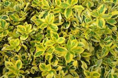 Euonymus Fortunei 'Emerald 'n' Gold', Wintercreeper 'Emerald 'n' Gold', Spindle 'Emerald 'n' Gold', evergreen shrubs Shrubs For Landscaping, Planting Shrubs, Landscaping Ideas, Types Of Soil, Types Of Plants, Yellow Shrubs, Cranesbill Geranium, Clematis Montana, Edging Plants