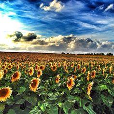 champs de sunflower en poitou charentes