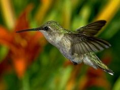 The graceful hummingbird.