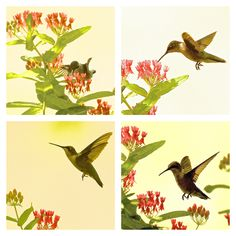 THERE WASN'T ENOUGH LIGHT to get good shots of the hummingbird but I took some anyway. I fiddled with the images on a computer and ended up with -- parts of a wallpaper pattern and a notecard cover? Clicking will get you all there is. (8/6/14 Peace Valley, Missouri) (4 photos)