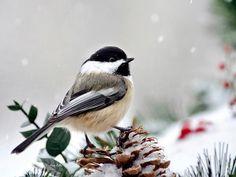 Winter Chickadee, Fine Art Photography, Chickadee Print, Wall Art, Photo Print, Christmas Gift, Bird Art, Winter Decor, Bird Photography