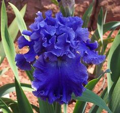 all the colors of the iris flower | Sea Power Iris Bulb Amazing Blue Ruffled Flowers Reblooms Fragrant ...