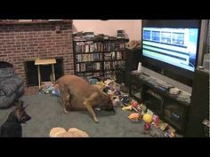 Every Time They Turn On The Movie 'Bolt,' Their Belgian Malinois Has The Funniest Reaction Ever - Suggested Post