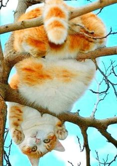 Great Pictures siamese cats maine coon Suggestions Siamese cats and kittens are the best better known for their streamlined, streamlined systems, steamy coats a Animals And Pets, Baby Animals, Funny Animals, Cute Animals, Cute Kittens, Maine Coon, Beautiful Cats, Animals Beautiful, Cool Cats