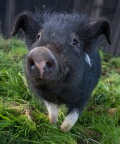 ❧ Petits cochons ❧ - this how all pigs should live. Little grass, little mud and a little sunshine.