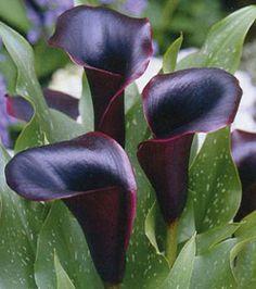 the Black Forest Calla Lily
