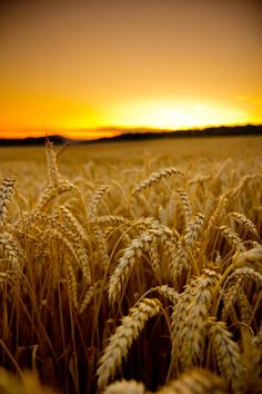 Fields of gold Beautiful World, Beautiful Images, Mother Earth, Mother Nature, Nature Pictures, Cool Pictures, Landscape Photography, Nature Photography, Fields Of Gold