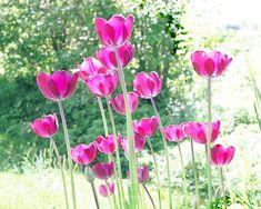 130 Tulip Ideas In 2021 Tulips Floral Prints Art Floral Art
