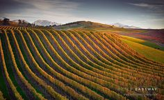 ***Blenheim Vineyard (New Zealand) by Peter Eastway on Wine Vine, Celebrity Magazines, South Island, Original Image, New Zealand, Things That Bounce, Vineyard, World, Empty