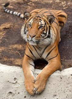 Aho Yaateeh — sdzoo: Then & Now: Malayan tiger, Connor. In the… Aho Yaateeh – sdzoo: Damals und heute: Malaiischer Tiger, Connor. Big Cats, Cats And Kittens, Cute Cats, Siamese Cats, Animals And Pets, Funny Animals, Cute Animals, Wild Animals, Baby Animals