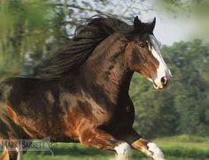 Clydesdale Draft Horse Stallion : Beautiful and expressive eye