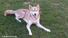 Siberian Huskies Update « Bama Huskies have husky puppies for sale Tennessee