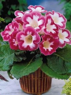 African Violets, Flowers, Plants