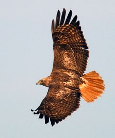 Red tailed hawk - my animal totem- she visited me on 10/30/13- 1 Universal Day :-)