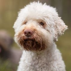 The Lagotto Romagnolo is the only purebred dog in the world recognized as a specialized truffle searcher.