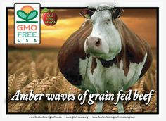 Another attempt to control every major crop in our food supply. Monsanto has GMO Roundup Ready wheat in the works. Our cows have eaten enough GMO corn and soy don't you think, Monsanto? They don't need your GMO wheat and neither do we!  READ: http://rt.com/usa/monsanto-gmo-wheat-crop-648/  READ - GMOs linked to obesity: http://www.cornucopia.org/2012/07/obesity-corn-gmos/  #gmo #wheat #gmowheat #Roundup #Monsanto #obesity #animalfeed #gmofreecanada #gmofreeusa — with Rick Duarte.