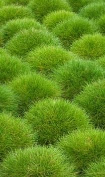 Ornamental grass idea.