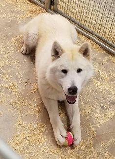 Rory is an adoptable Husky searching for a forever family near Boulder, CO. Use Petfinder to find adoptable pets in your area.