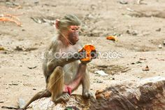 Baboon Monkey chilling in the zoo — Stock Photo © BAphotography #53567091 #Photography #StockPhotography #Art #portfolio #Portrait #Pharaoh #Lightplay #Landscape #IslamicArt #Nature #Chess #Pets #FigurePhotogrpahy #ProductPhotography #NightLife #Abstract #Sea #Ocean #Coffee #Africa #Egypt #Oriental #Vacation #Sky #Toys #Historic #Landmark #Calligraphy #Monkey #desert #Sunset #Background #Oud #Arabian #Minions #Christmas #NewYear2015 #Card #Christmas_Card