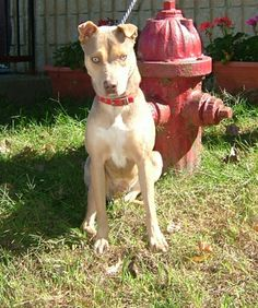 Mariah is a young, sweet girl who was left at the shelter by a friend of the family.   She is a 5 year old female husky/sharpei mix with a pretty short fawn color coat.  Mariah needs a loving home where she can get the attention she deserves.  Shel...