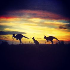 Kangaroos on the horizon at Narawntapu National Park, in the northern region of Tasmania.  Beautifully shot by beijingemily who is part of the crew travelling on this week's Great Tassie Instagram Journey.