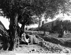 Olive trees on the Mount of Olives. The Church of the Ascension is in the background. A camel sits and waits.Ottoman Empire: Palestine, Jerusalem, 22 January 1918 by Frank Hurley Palestine History, Mount Of Olives, Olive Tree, Ottoman Empire, Any Images, Wwi, Jerusalem, Hurley, First World