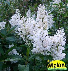 Syringa 'Holger', vit ungersk syren. Rent vita blommor. Höjd: 2-3 m.