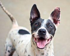 SOOKIE Labrador Retriever/Dalmatian Mix: An adoptable dog in Gainesville, FL