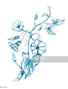 View top-quality illustrations of Hand Drawn Bindweed Wildflower. Find premium, high-resolution illustrative art at Getty Images. Free Illustrations, Flower Pots, Vector Art, Wild Flowers, Hand Drawn, Vines, How To Draw Hands, Tattoo, Image