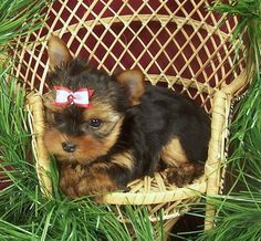 Adorable little Yorkie puppy
