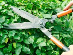 Snoeikalender: wat snoei je in welke maand   vtwonen Thuja, Buxus, Clematis, Pruning Shears, Gardening Tips, Garden Tools, Home And Garden, Green, Outdoor