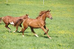 Behavior Q&A: Don't Judge a Horse by His (or Her) Color - TheHorse.com | Is there any proof behind the hot-blooded chestnut mare stereotype? An equine behaviorist weighs in. #horses #horsebehavior #TheHorse