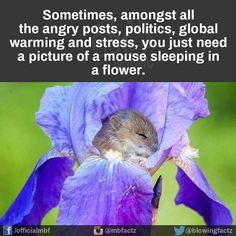 I just can't get enough of this mouse sleeping in a flower!