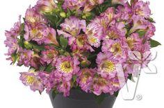 402045 Alstroemeria x hybrida Inticancha® Sunday