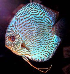 Royal Blue Discus (Symphysodon aequifasciata) ... Tropical Freshwater Fish, Tropical Fish, Discus Fish, Angel Fish, Beautiful Fish, Cichlids, Colorful Fish, Aquarium Fish, Goldfish