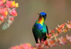 The Fiery-throated Hummingbird (Panterpe insignis) is a medium-sized hummingbird which breeds only in the mountains of Costa Rica and western Panama. It is the only member of the genus Panterpe.