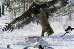 Golden Eagle Vs Siberian Wolf: freaking crazy!!!! Who's afraid of the big bad wolf now?
