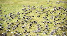 When this image was taken in 2003, the reindeer population on Russia's Taimyr Peninsula numbered more than 800,000, down from 1million animals in 2000. Now, there are only 600,000 reindeer, scientists say. ~~ Leonid Kolpashchikov
