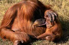 is amazingly beautiful how good mammas are orangutans!!