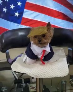 #trump funny Cute Dogs And Puppies, Baby Puppies, Small Dog Breeds, Small Dogs, Funny Animal Pictures, Funny Animals, Terrier Breeds, Yorkshire Terrier Puppies, Cool Pets