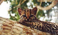 Filhote de jaguatirica na região do Amazon Ecopark Lodge, na Floresta Amazônica