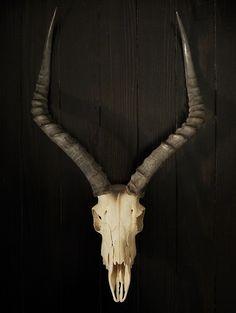 impala skull with horns
