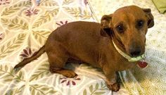 My name is Sam. I am available for adoption and looking for my furever home. I am a 5 year old red haired miniature dachshund.  http://www.fureverdachshundrescue.org/animals/detail?AnimalID=4708794