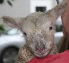 """Meet """"Tuesday"""", a newborn Babydoll Southdown miniature sheep. Adorable! 